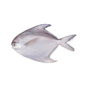 White Pomfret LOCAL Source of protein and low in fat